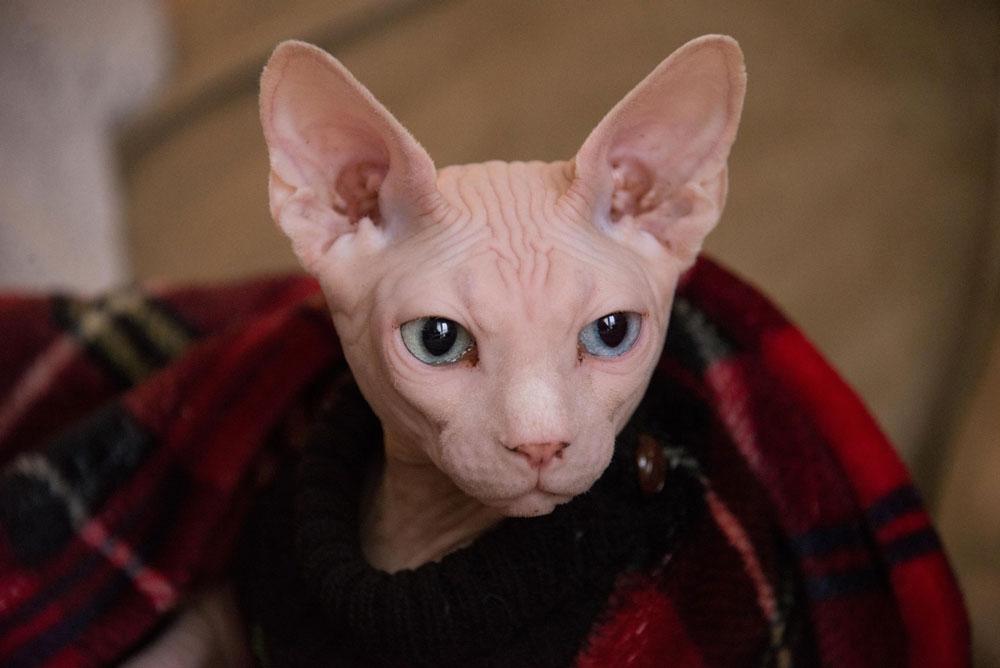 chat sans poil : sa peau est nue et fragile