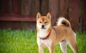 chien japonais akita