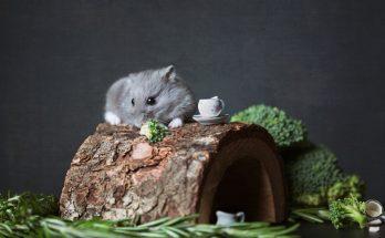 hamster nain dans sa cage