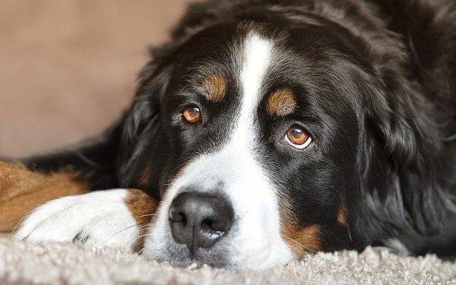 obesite du chien