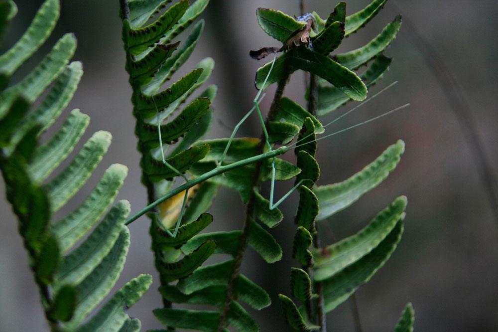 phasme vert sur feuilles vertes