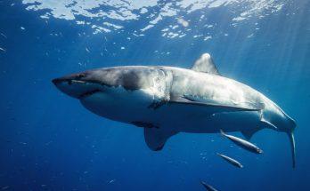 le megalodon, l'ancêtre du requin blanc