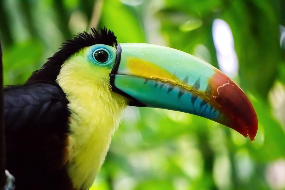 toucan : un bec coloré inoubliable